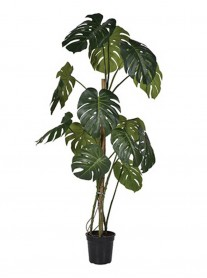 Split Philodendron